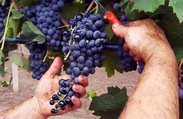 Racconto della Vendemmia: dall'Uva al Vino